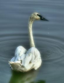 Starlake Swan 4