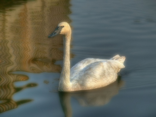 Starlake Swan