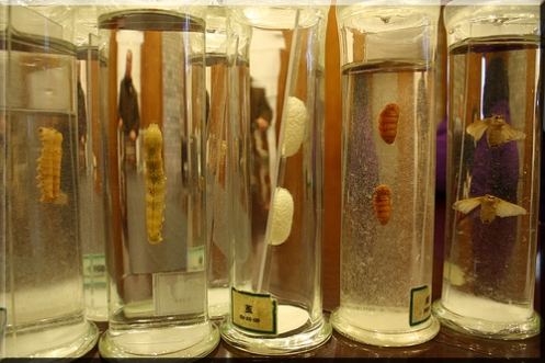 Silkworm Life Stages